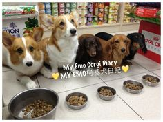 Emo and Eka are friends with a bunch of dachshunds who are also emo.
