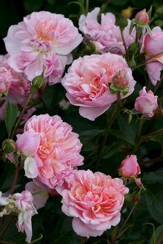 Anne Boleyn - English Rose