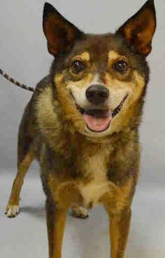 TO BE DESTROYED 8/09/2016 --- SUPER URGENT Brooklyn Center DANNY – A1083473  NEUTERED MALE, BROWN / TAN, GERM SHEPHERD MIX, 7 yrs STRAY – STRAY WAIT, HOLD FOR ID Reason STRAY Intake condition UNSPECIFIE Intake Date 07/30/2016  http://nycdogs.urgentpodr.org/danny-a1083473/