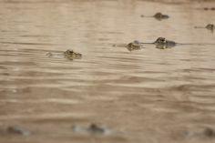 Reunión de caimanes y babas :) Los Llanos, Venezuela.