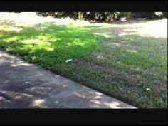 Tampa Lawn Destroyed by Chinch Bugs
