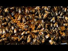A returning honey bee forager tells her nestmates where she collected food.