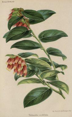 SNHF | Thibaudia cordifolia