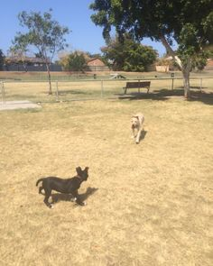 Sally tore up frascott today with this gorgeous 3 month old kelpie x