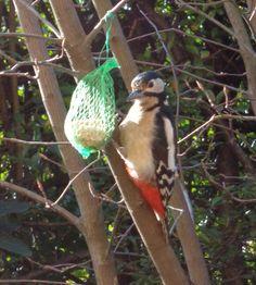 Picchio rosso maggiore nel mio giardino -  Foto-diario di una giardiniera curiosa
