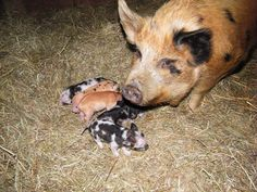 Home - White Bison Farm - Idaho pasture pigs some in Wisconsin!!