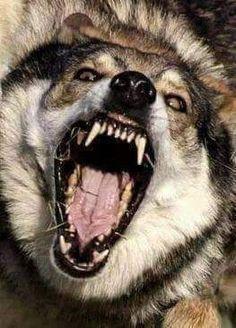 Wolf Big Bad Wolf, Beautiful Wolves, Animals Beautiful, Native American Wolf, Wolf Hybrid, Cheetahs, Wild Ones, Leopards, Wolf Tattoos