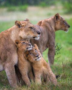 Lion Family Hug at Duba Plains, Okavango Delta. Botswana by Andrew Schoeman Photography Join Andrew on a tailor made photosafari: Website Family Hug, Lion Family, Happy Family, Animals And Pets, Baby Animals, Cute Animals, Wild Life Animals, Beautiful Cats, Animals Beautiful