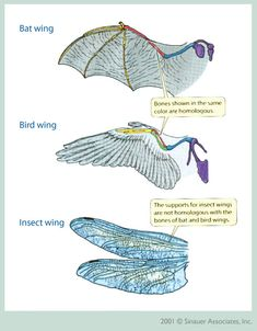 Convergent Evolution of Wings