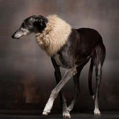 Paul Croes Photography Galgo italiano Italian Greyhound Dog Photography Puppy Hounds Chiens Puppies