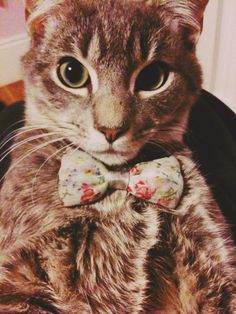 A cat wearing a bow? How could you not repin this??? <3