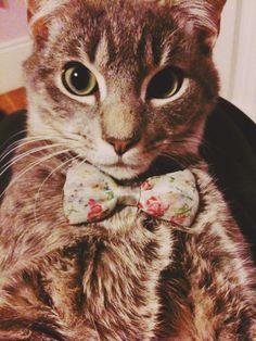 Cat in bowtie