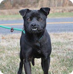 Westampton, NJ - Labrador Retriever Mix. Meet Bella D-58737 a Dog for Adoption.
