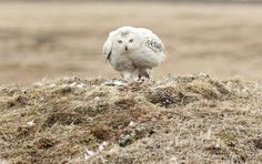 Live cam shows Arctic snowy owl, chicks in nest