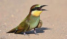 Gepind vanaf vroegevogels.vara.nl - Bijeneter