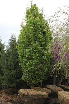 Columnar English Oak Tree