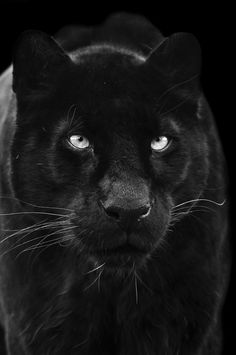 Black Panther, love the white whiskers.
