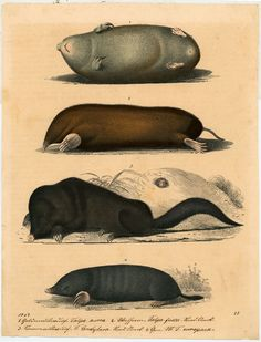 Moles, 1847, Germany