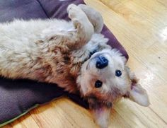 Berkeley the Shepherd Mix -- Puppy Breed: German Shepherd Dog / Golden Retriever