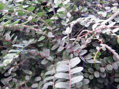 Pellaea rotundifolia - button fern - Fronds New Zealand, suppliers of native New Zealand ferns, nz plants, nz trees, nz shrubs, landscaping ferns, nz ponga, nz ferns, exotic ferns, nz tree ferns, nz ground ferns, nz ponga pots, nz ponga troughs.