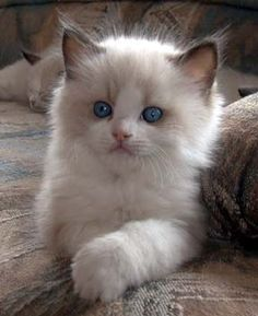 silky soft; blue-eyed kitten that is a Himalayan. The points have all ready started to darken and the eyes will stay blue. The short nose indicates his/her Persian ancestry.