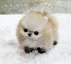 Micro Pomeranian. Come on Prince Charming bring me one