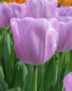 Triumph Tulip Alibi