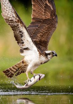Hawk Birds Types of Largest Species in The Worlds Like Philippine Eagle Bateleur Eagle The Black Chested Buzzard Eagle Harpy Eagle Wedge Tailed Eagle Stellers Sea Eagle G. Beautiful Birds, Animals Beautiful, Osprey Bird, Foto Nature, Animals And Pets, Cute Animals, Hawk Bird, Fish Hawk, Bird Pictures