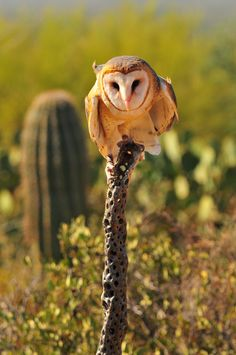 Barn #owl - Arizona, USA - thank the Lord for bird watchers with their telephoto cameras!