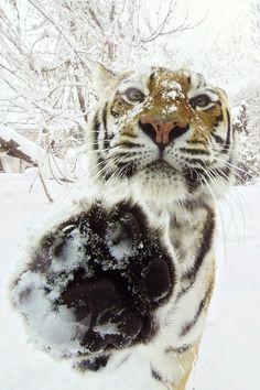 #tiger #snow