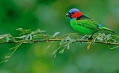 (via 500px / Red-necked Tanager-Tangara cyanocephala by Thiago Silva)
