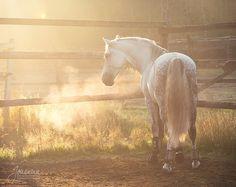 Espanjan Ori Dean laitumella Equine Art, Animals Beautiful, Dean, Horses, Cutest Animals, Horse