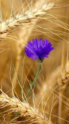 Amazing Flowers, Blue Flowers, Wild Flowers, Beautiful Flowers, Pictures To Draw, Nature Pictures, Fields Of Gold, Flowers Nature, Flower Wallpaper