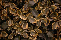 Country Gold Wintercreeper (Euonymus fortunei 'Country Gold') at Ritchie Feed & Seed Inc.