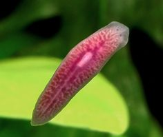 Planarians (also known as Dugesia) are small (~ 10 mm), free-living flatworms that can be found in ponds and rivers almost anywhere. Planarians are among the most simple organisms that possess a central nervous system. Some of them have an extraordinary ability of regeneration, e.g. one planarian split lengthwise or crosswise will regenerate into two separate individuals. Hence, they are popular objects of study in the student labs.