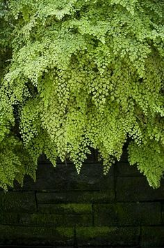 Maidenhair fern cascading down a moss covered wall.