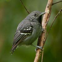 Salvadorimyrsmyg. choquinha-pequena_Myrmotherula minor_Brazilian Birds
