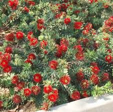 Dwarf Bottle Brush -- full sun, 3 feet tall and feet wide Landscaping Shrubs, Florida Landscaping, Landscaping Ideas, Australian Plants, Australian Garden, Garden Trees, Trees To Plant, Flowering Bushes Full Sun, California Native Landscape