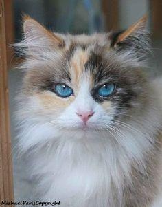"""Résultat de recherche d'images pour """"ragdoll cat"""""""