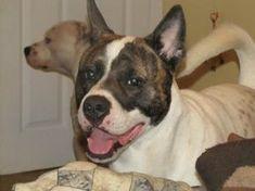 Akita American Pit Bull Terrier Mix #PitBull