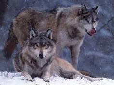 Shady's 2 pet wolves, Relger (one -male- standing up), and Amber (the one -female- laying down)