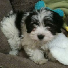 Our new Havanese puppy