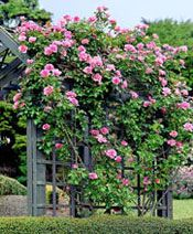 Plants, Trees and Shrubs : Bantry Bay Rose - Griffins Garden Centre Trees And Shrubs, Trees To Plant, Beautiful Gardens, Beautiful Flowers, Pruning Roses, Garden Works, Landscape Plans, Climbing Roses, Garden Projects