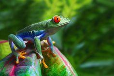 Rainette aux yeux rouges, Costa Rica
