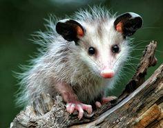 Cute baby opossum~