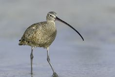 The Long-billed Curlew (Numenius americanus) is a large North American shorebird of the family Scolopacidae./by Daniel Parent on 500px