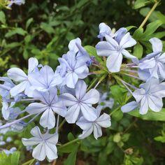 #morningwalk #spring #sydney #flowerstagram #flowers #flowerstagram #flowersofinstagram