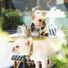 """Where's our WAITER!"", French Bulldogs @frenchieleo"