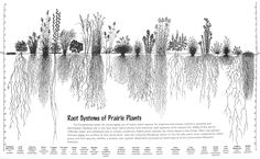 root systems of prairie plants.  see puny roots of regular grass on far left.