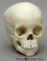 Bone Clones®Child Skull - 2 year old